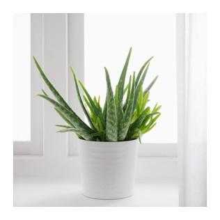 aloe-vera-plante-en-pot__0443861_PE594585_S4